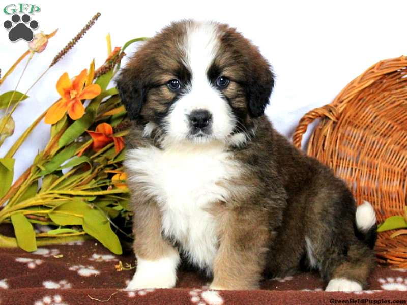 Bernese Mountain Dog Mix Puppies For Sale Greenfield Puppies