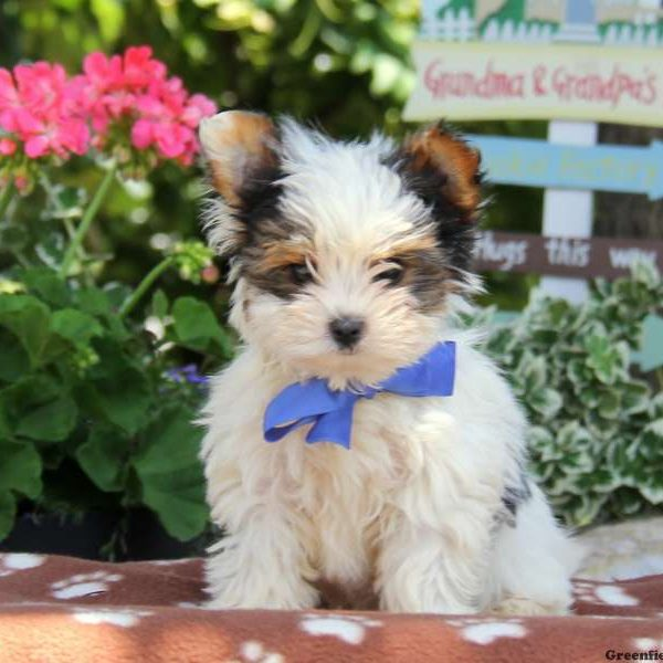 How to Choose a Yorkie Puppy pictures