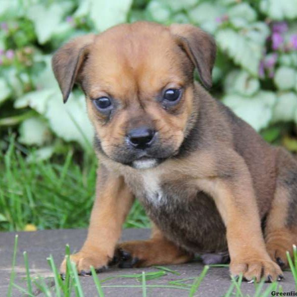 Puppies For Sale In Pa Find Your Perfect Puppy At Greenfield Puppies