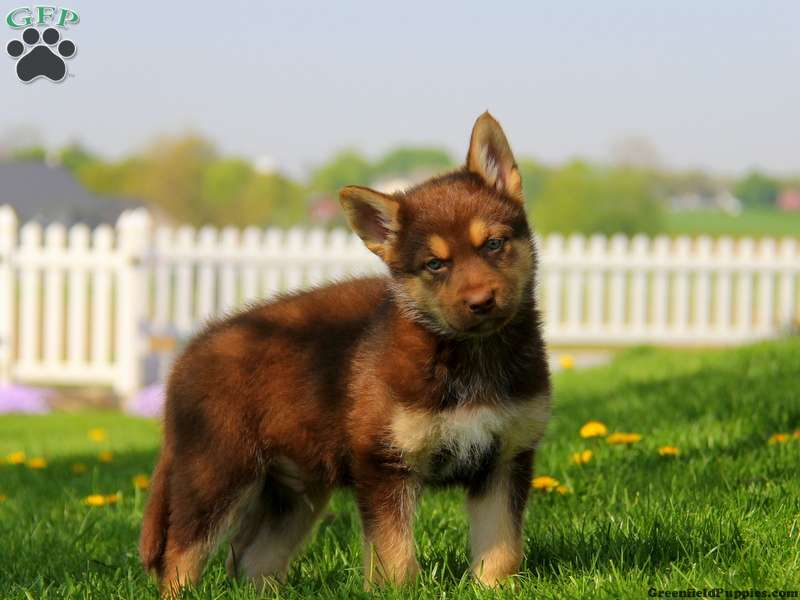German Shepherd Mix Puppies For Sale Greenfield Puppies