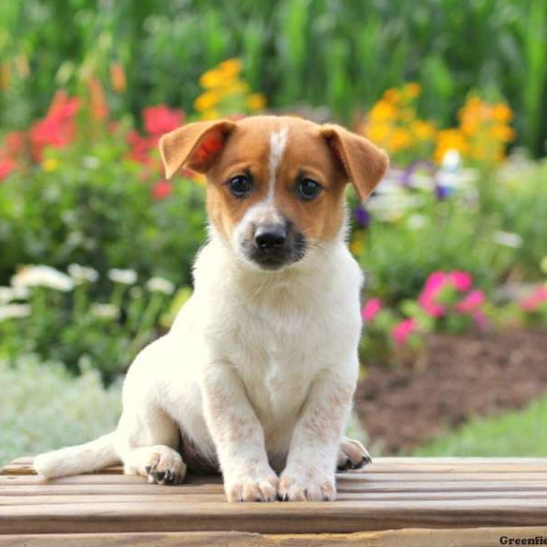 Beagle jack russell terrier mix puppies