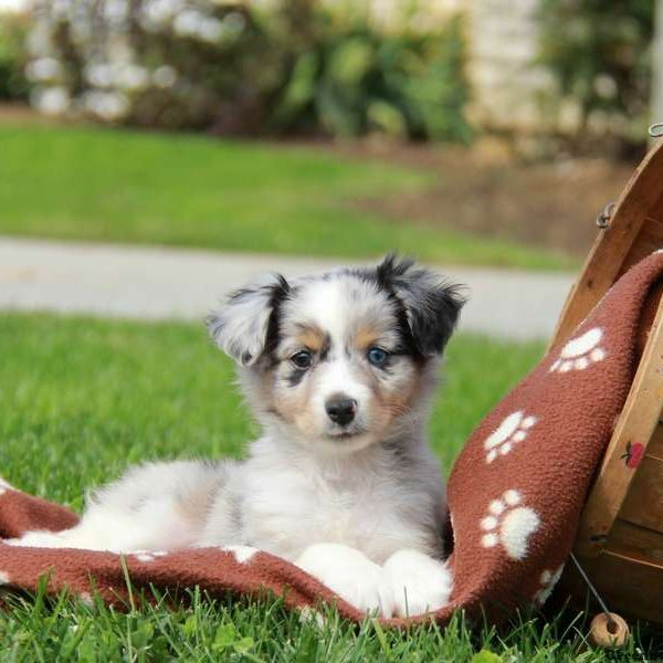 Mini australian shepherd mix
