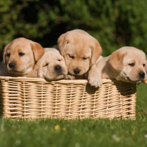 Puppies For Sale | Find Your Perfect Puppy at Greenfield Puppies