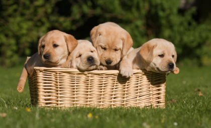 puppies in a basket