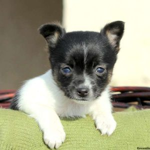Toy Fox Terrier Puppies For Sale In DE MD NY NJ Philly DC ...