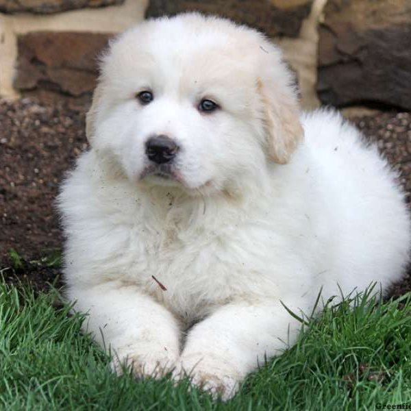 Fin, Great Pyrenees Puppy