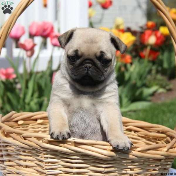 Miniature Pug Puppies For Sale - Mini Pug Puppies | Greenfield Puppies
