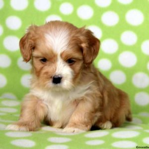 Lhasa Apso Puppies For Sale In De Md Ny Nj Philly Dc And Baltimore
