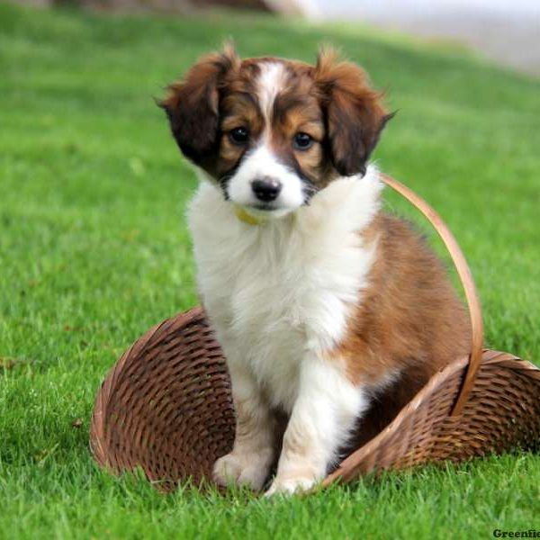 Miniature Collie Mix Puppy