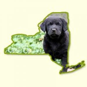Puppies for Sale in NY