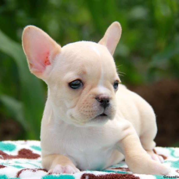 Kamela – Mini French Bulldog, French Bulldog Puppy