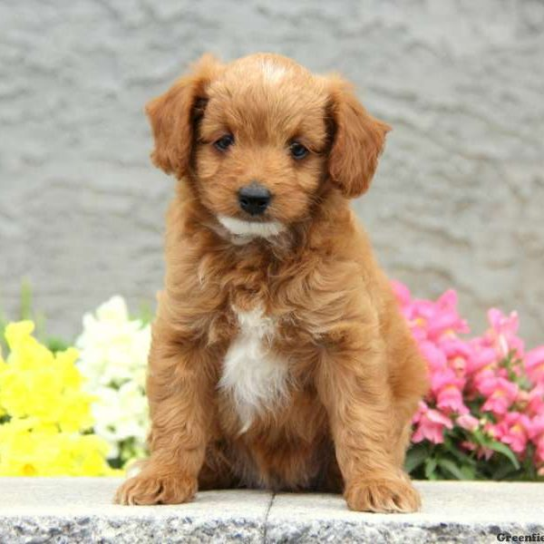 Papi-Poo Puppies for Sale - Papi-Poo Breed Profile