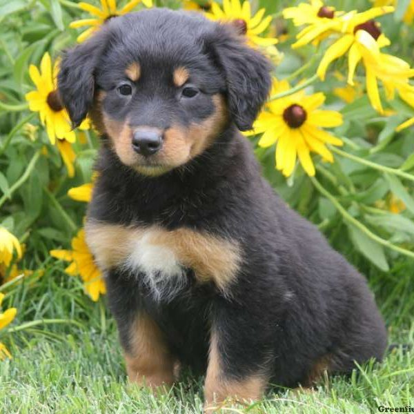Rory - English Shepherd Puppy For Sale in Pennsylvania