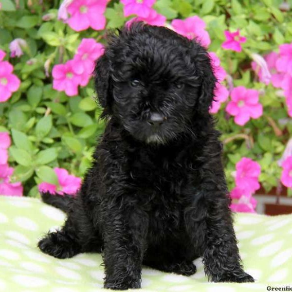 Portuguese Water Dog Mix Puppy