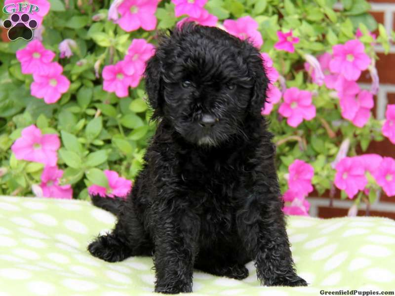 Portuguese Water Dog Puppies For Sale Pa