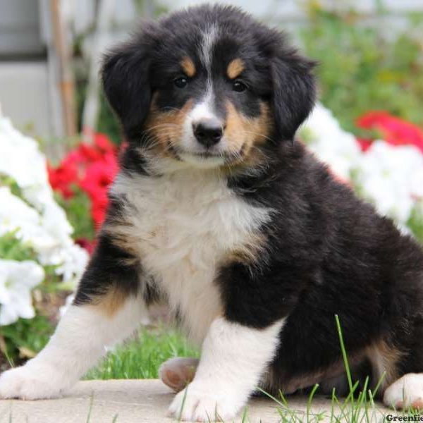 Tommy, Bernese Mountain Dog Mix Puppy