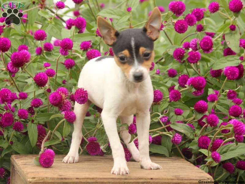 Toy Fox Terrier Puppies For