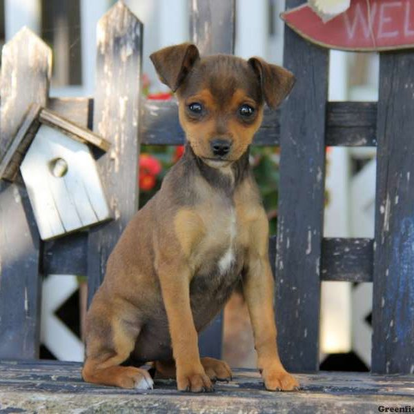 Miniature Pinscher Mix Puppy