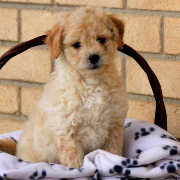Peekapoo Puppies For Sale Peekapoo Breed Profile