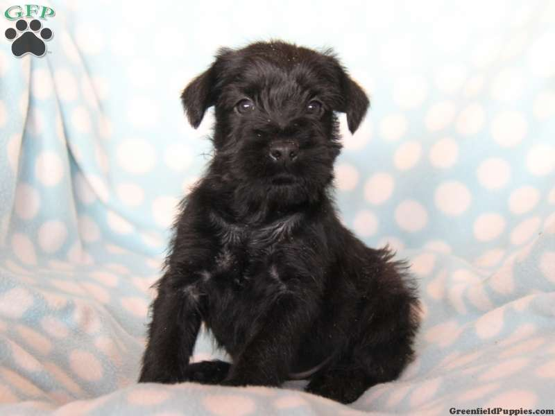 Standard Schnauzer Puppies For Sale Greenfield Puppies