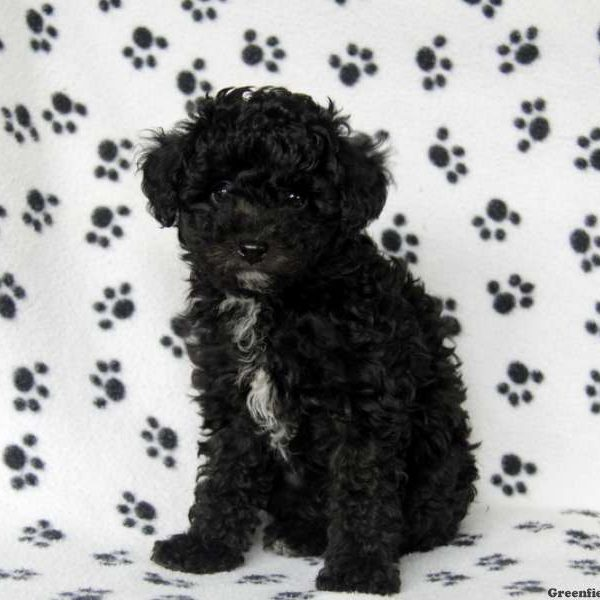 Toy Poodle Mix Puppy