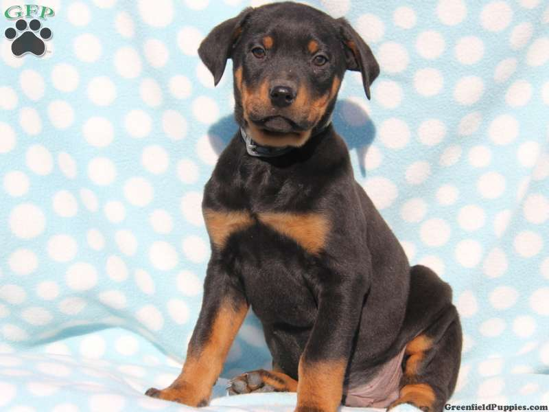 Rottweiler Mix Puppies For Sale Greenfield Puppies