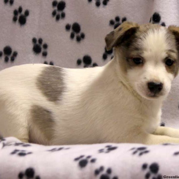 Brunswick, Australian Shepherd Mix-Miniature Puppy