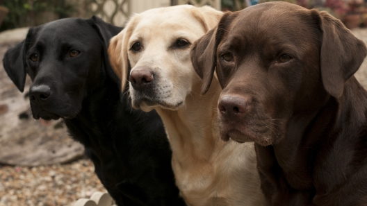 A Brief History of the Labrador Retriever