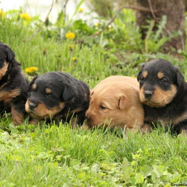 COMING SOON - English Shepherd Puppy For Sale in Pennsylvania
