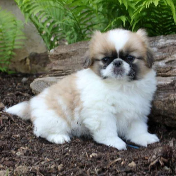 Pekingese Puppies for Sale | Pekingese Breed Profile ...
