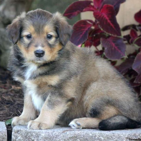Bartly - English Shepherd Puppy For Sale in Pennsylvania