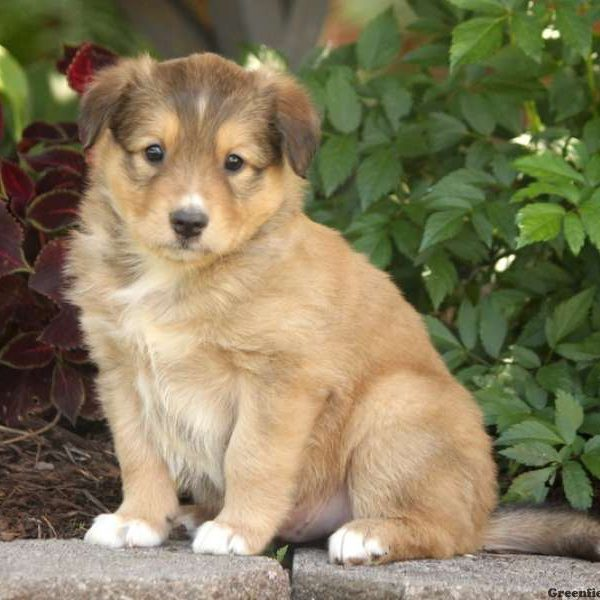 Baxter - English Shepherd Puppy For Sale in Pennsylvania