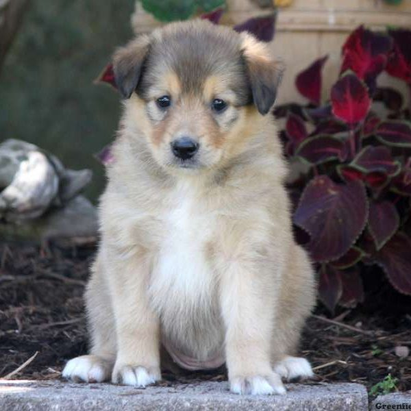 Bess - English Shepherd Puppy For Sale in Pennsylvania