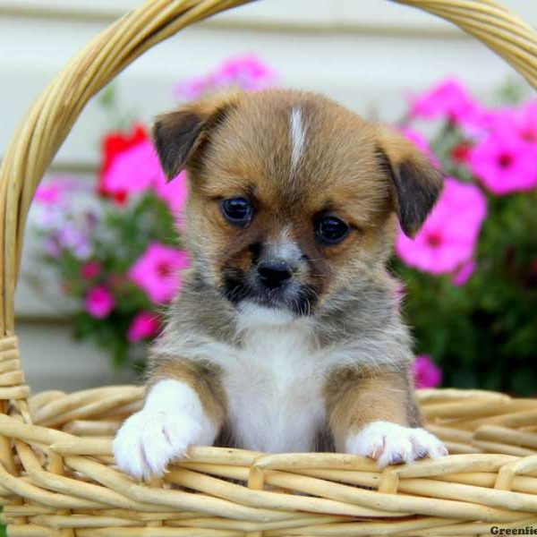 Russell, Japanese Chin Mix Puppy