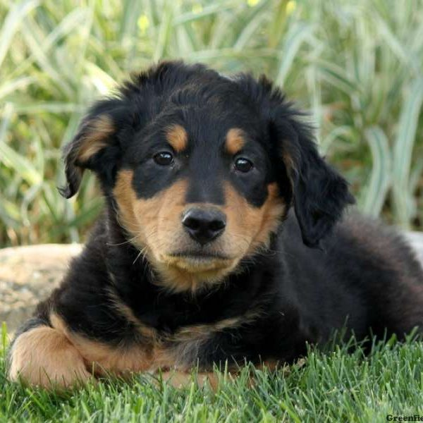 Tanner - English Shepherd Puppy For Sale in Pennsylvania