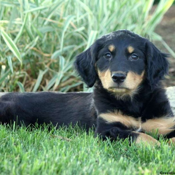 Tennessee - English Shepherd Puppy For Sale in Pennsylvania