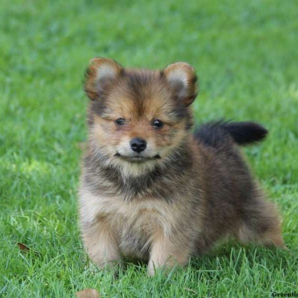Yorkie Pom Puppies For