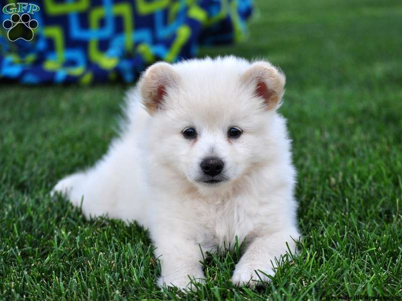 snowball eskipom puppy for sale in pennsylvania