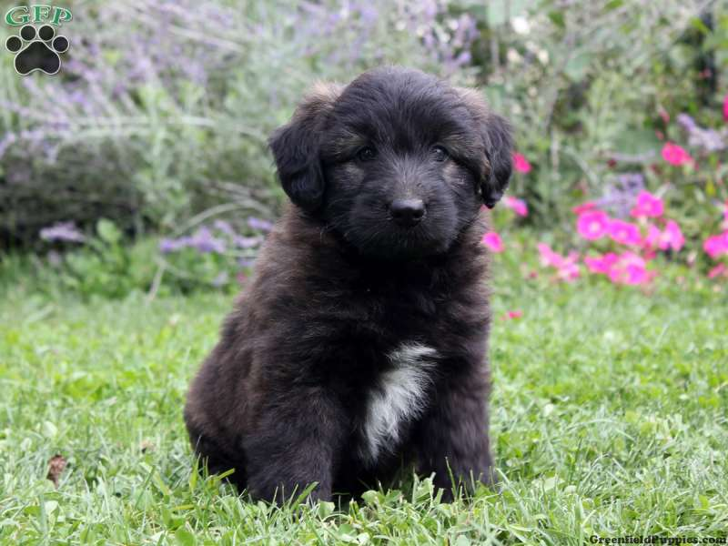 Pictures of Shepadoodle Puppies - #rock-cafe