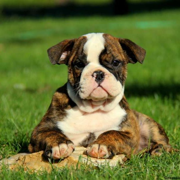 Olde English Bulldogge Puppies For Sale | Greenfield Puppies