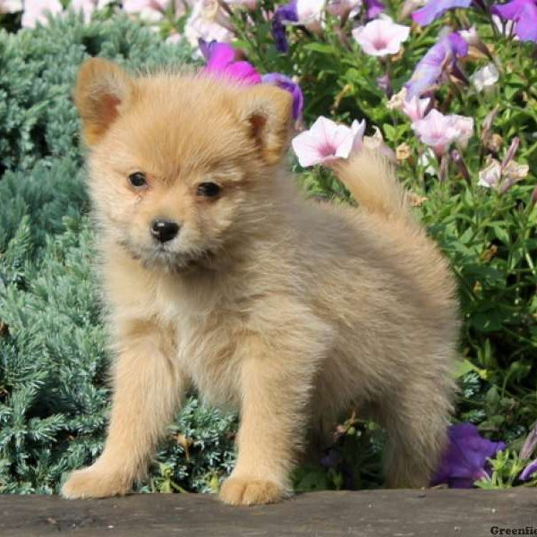 Pomeranian Golden Retriever Mix | www.pixshark.com ...