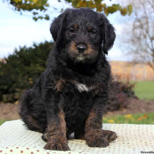 Rottie-Poo Puppies For Sale - Rottie-Poo Breed Info