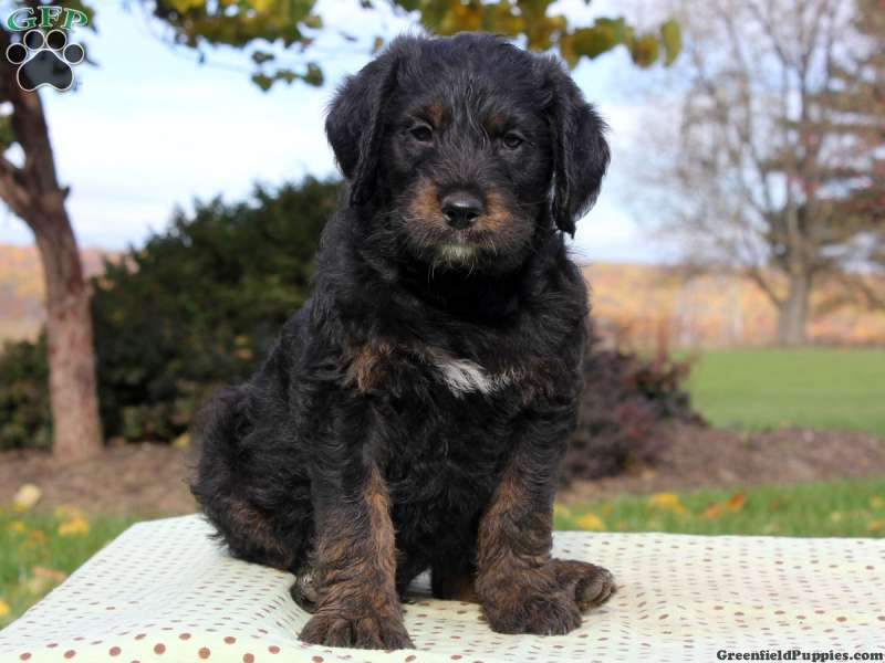 Rottie Poo Puppies For Sale Rottie Poo Breed Info