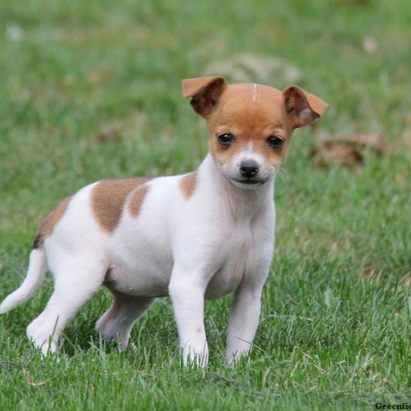 Rat Terrier Mix Puppy