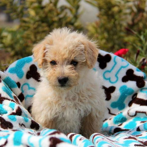 Harley Eskipoo Puppy For Sale In Pennsylvania