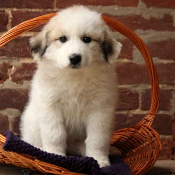 Georgia, Great Pyrenees Puppy