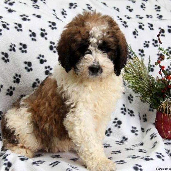 Saint Berdoodle Puppies For Sale Greenfield Puppies