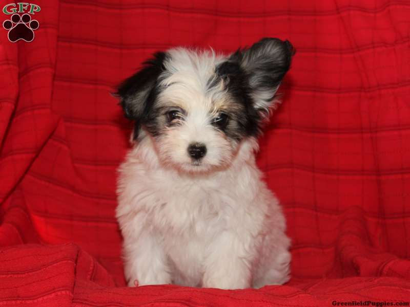 Papillon Mix Puppies For Sale Greenfield Puppies