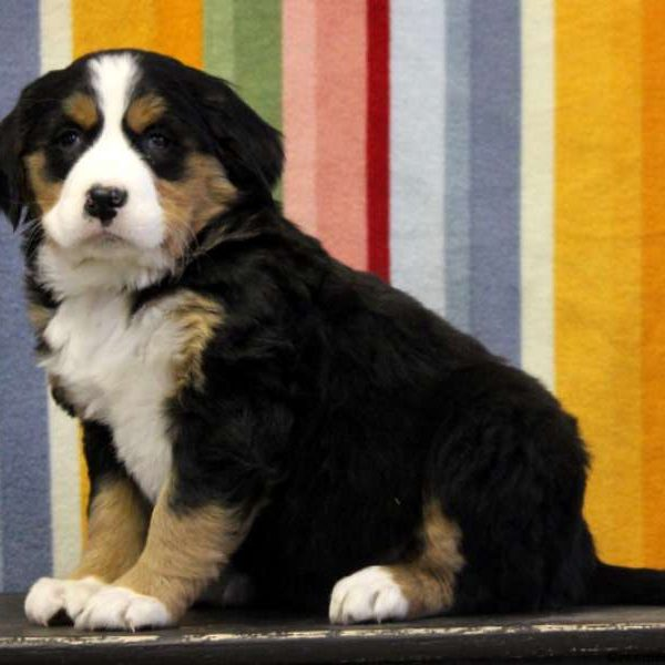 Joella, Labernese Puppy