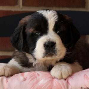 Saint Bernard Puppies For Sale In De Md Ny Nj Philly Dc And Baltimore